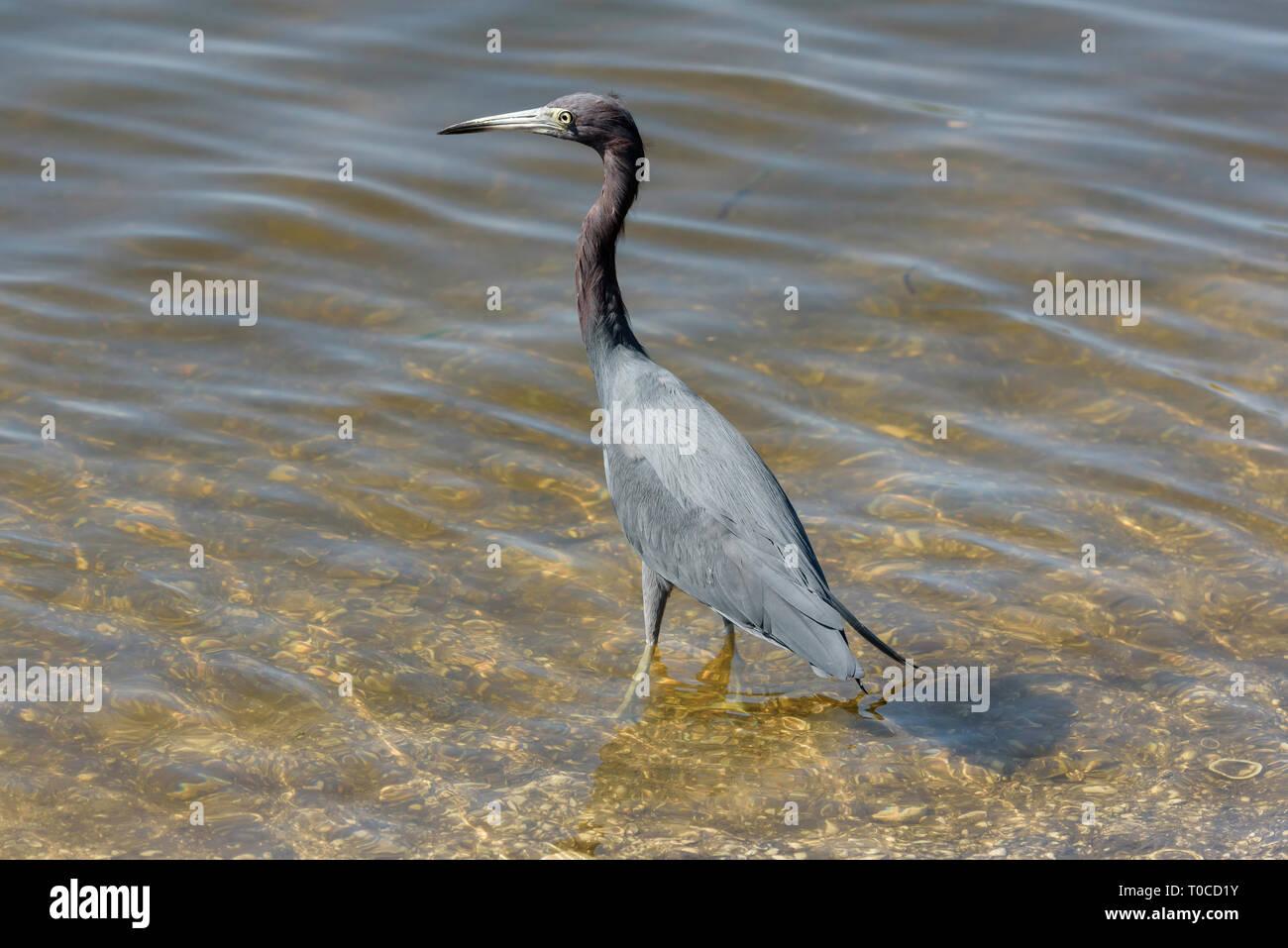 Little blue heron (Egretta caerulea) in J.N. Ding Darling National Wildlife Refuge, Sanibel Island, Florida, USA - Stock Image