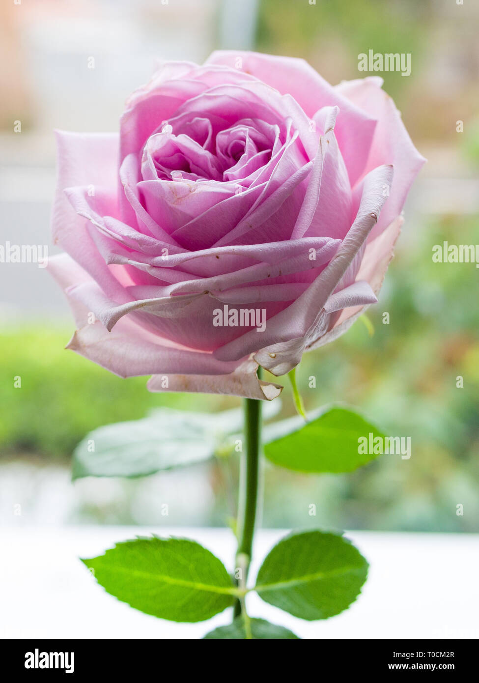 Closeup with a flowering lavender rose head. - Stock Image