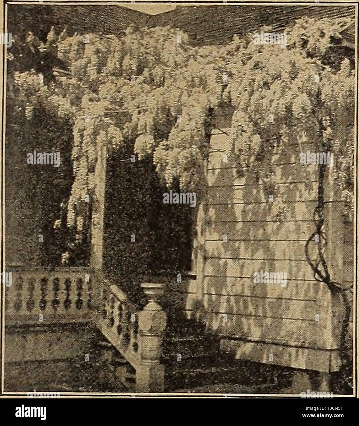 Dreer's garden book 1919 (1919) Dreer's garden book 1919 dreersgardenbook1919henr Year: 1919  'HENRTADREER -PHIIADELPHIAM ^ hARDYCLIMBiriC PLANTS' 211 1^    Wistaria Sinensis ^WIST ARIAS One of the best hardy chmbers, producing their great trusses of flowers in abundance during the month of May with some scattering bloom in August and September. While they succeed in any kind of soil they should be liberally fed when first planted to give them a vigorous start. (See cut.) riultijuga. A Japanese variety, bearing loose panicles frequently 3 feet long of deep purple flowers. Sinensis. The favorit - Stock Image