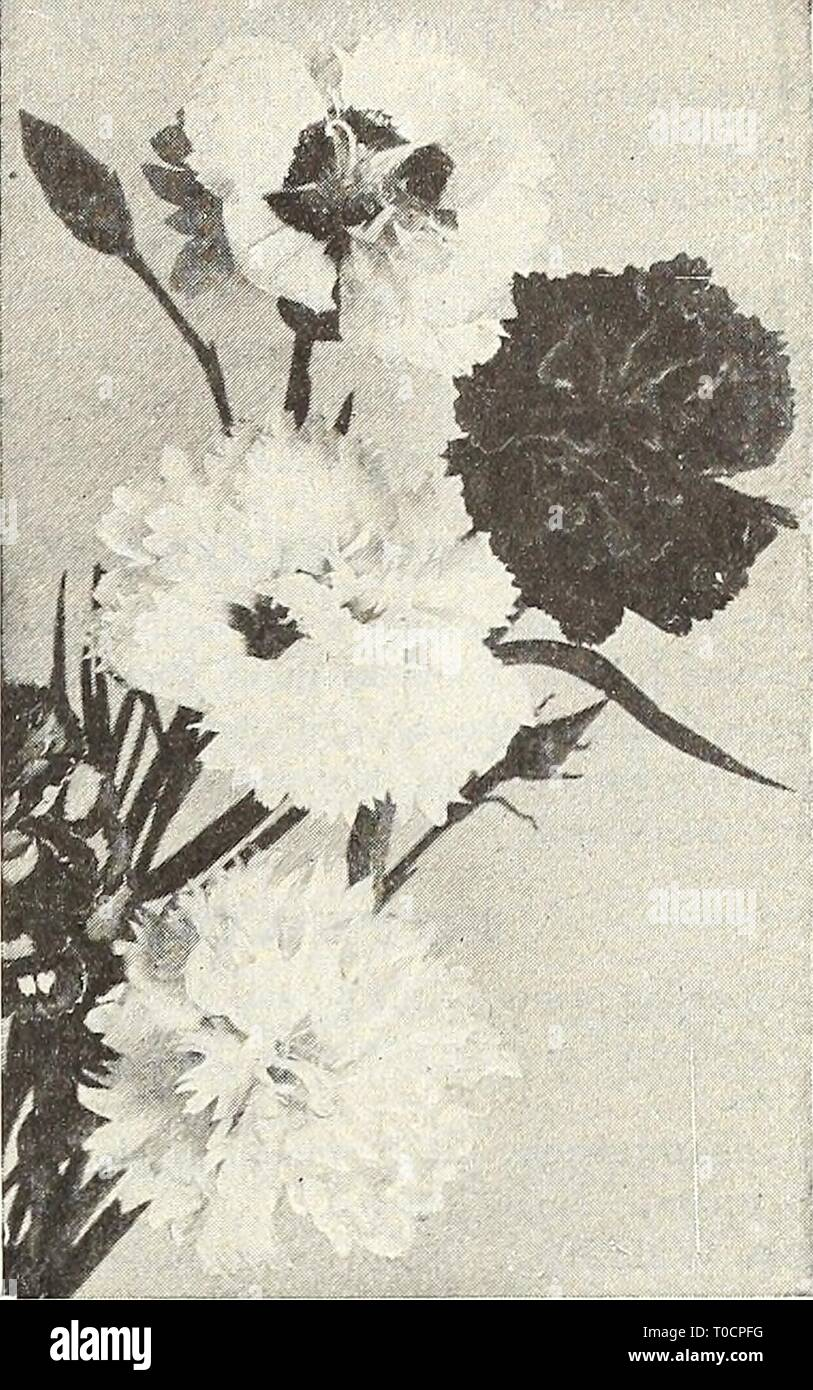 Dreer's garden book 1916 (1916) Dreer's garden book 1916 dreersgardenbook1916henr Year: 1916  Platycodon Grandiflorum POLEMONIUM Hardy Garden Pinks PLUMBAGO (Lead-wort). Larpenta;. Of dwarf, spreading habit, grow- ing 6 to 8 inches high; useful as an edging plant or for the rockery; covered with beau- tiful deep blue flowers during the summer and fall months. 15 cts. each; $1.50 per doz.; $10.00 per 100. PODOPHYLLUM. Emodi Majus {Himalayan Mandrake). A curious species, growing almost 3 feet high, with pale green leaves, prettily mar-' bled with bronze. The clear pink flowers are followed by la - Stock Image
