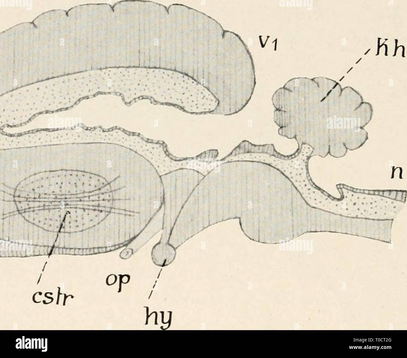 Einführung in die Biologie (1912) Einführung in die Biologie einfhrungindie00maas Year: 1912  O Fig. 157. Schematischer Längsschnitt durch ein Säugergehirn (nach Weber) n = Nachhirn, l<h — Kleinhirn, hy = Hypophyse, op — Seh- nerv, o = Riechlappen, v = Basalteil, Vj = Mantelteil der Groß- hirnhemisphäre, cstr = corpus striatum (Faserkreuzung). Hohlraum punktiert gezeichnet. worden. Dagegen ist die Diagnose von besonderen Zentren und be- sonders entwickelten Fähigkeiten aus der äußeren Schädelform, die sich durch gesteigerte Massenentwicklung des Gehirns in bestimmten Teilen ergeben soll, ei - Stock Image