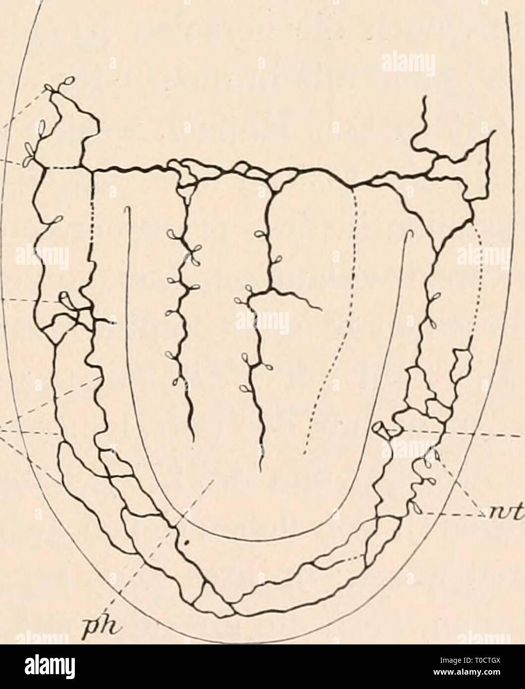 Dr HG Bronn's Klassen und Dr. H.G. Bronn's Klassen und Ordnungen des Thier-Reichs : wissenschaftlich dargestellt in Wort und Bild drhgbronnsklasse040102bron Year: 1912  ea^p.,/___.__ exp^. Procerodes lobata. Dorsale Grefäße eines jungen Tieres nach einem Quetschpräparat. Fig. 68. wt.: cvp <9X-.    -CJCp Procerodes lobata. Exkretionskanäle des hinteren Körperteiles und des Pharynx {ph). ex die beiden seitlichen Hauptkanäle, exp Ex- kretionsporen, wt Wimpertrichter nach einem Quetschpräparat. (Nach Wilhelmi). teilen können (ep,). ,,Die Öffnungen liegen meist dorsal über den Hoden der betreff - Stock Image
