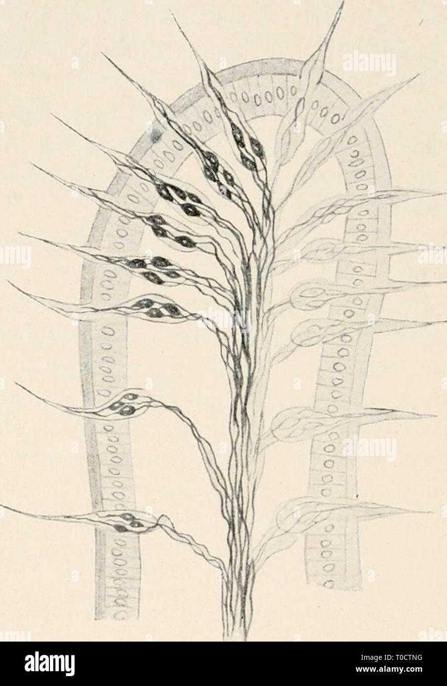 Einführung in die Biologie (1912) Einführung in die Biologie einfhrungindie00maas Year: 1912  312 Achtzehntes Kapitel. Bei einer Chitindecke l<;önnen keine Plasmafortsätze zur Wahr- nehmung des Reizes existieren. Es werden bei solchen Tieren darum feine Fortsätze des Chitins selbst, die gleich Miniaturstacheln über die Oberfläche herausragen, zur Tastempfindung benutzt. Solche Chitin- fortsätze stehen dann nicht wie das angrenzende Chitin der Decke mit gewöhnlichen Epithelzellen in Verbindung, sondern mit besonders S--- 0Wi -ep Muskel n    Fig. 158. Sinnespapille aus der Haut eines Wurms (n - Stock Image