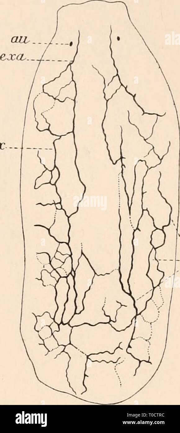 Dr HG Bronn's Klassen und Dr. H.G. Bronn's Klassen und Ordnungen des Thier-Reichs : wissenschaftlich dargestellt in Wort und Bild drhgbronnsklasse040102bron Year: 1912  2835 Fig. 69. ex - *ejc. Exkretionsgefäßen zu seinen Studien und leugnet zunächst das Vorkommen des medialen Paares der dorsalen und ventralen Hauptkanäle, bestätigt aber durch seine Beschreibung (pag. 207—210) und Abbildung (Textfig. 69). Alles, was Böhmig über den Mangel jeglicher Metamerie (Pseudometa- merie Lang 1025, pag, 67) im Bau des Exkretionsapparates der Vr. ulvae ausgeführt hat. So namentlich hinsichtlich der Exkret - Stock Image