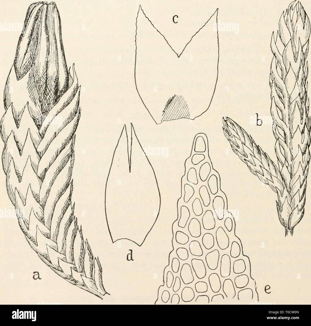 Dr L Rabenhorst's Kryptogamen-Flora von Dr. L. Rabenhorst's Kryptogamen-Flora von Deutschland, Oesterreich und der Schweiz drlrabenhorstskr0602rabe Year: 1912  316 Anthelia. 227. Anthelia julacea^) (L.) Dumortier, Rec. d'observ. Ö. 18 (1835j. Synonyme: Jungermannia julacea Liiine, Spec. plant. S. 1135 (1753) z. T. Lightfoot, Fl. Scotica S. 785 (1777). Exsikkaten: Gotische u. Rabenhorst, Hep. europ. exs. Nr. 518, 524. Carriugton u. Pearson, Hep. Brit. exs. Nr. 35. Lilienfeldowna, Hep. Polon. exs. Nr. 37! Zwei hau sig. Mesophyt. In ausgedehnten, blaugriinen, dichten, polsterförmigen Rasen von 1  - Stock Image
