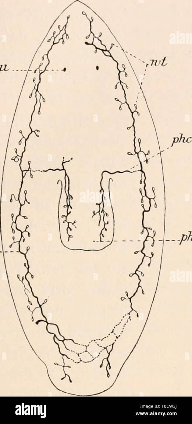 Dr HG Bronn's Klassen und Dr. H.G. Bronn's Klassen und Ordnungen des Thier-Reichs : wissenschaftlich dargestellt in Wort und Bild drhgbronnsklasse040102bron Year: 1912  2837 sie nicht; doch scheint dies im Hinterende der Fall zu sein. Von den beiden Hauptkanälen gehen nach innen und außen wenig verzweigte und meist kurze Nephridalbäumchen. Poren glaube ich ... beobachtet zu haben; doch schienen sie nach der Ventralseite zu verlaufen. Der Gefäßapparat von Bd. jjropinqua kann, wie es mir scheint, weder als dorsal, noch als ven- tral bezeichnet werden'. Fig. 71. Fig. 72. au. ex.    ait exe,:. CX- - Stock Image
