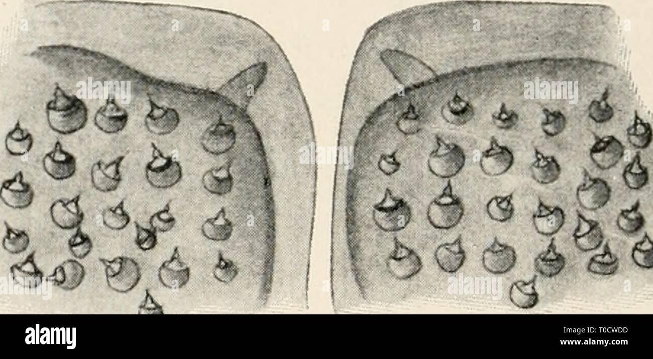 Einführung in die Biologie (1912) Einführung in die Biologie einfhrungindie00maas Year: 1912  6 Fig. 163. Geschmacksknospen aus dem Abhang einer Zungenpapille des Menschen (nach Ebner). Fig. 164. Geschmacksgrubenfelder aus den oberen Mundteilen eines Wasserkäfers. tiefte derartige Geschmacksbezirke in der Mundhöhle, und ähnliche Ge- schmacksscheiben werden auch bei Fischen nachgewiesen. Eine besonders interessante Verwirklichung von Geschmacksorganen findet sich bei den Insekten, bei denen ja schon infolge ihres Land- und Luftlebens Geschmack von Geruch getrennt werden kann, und wo der Geschma - Stock Image