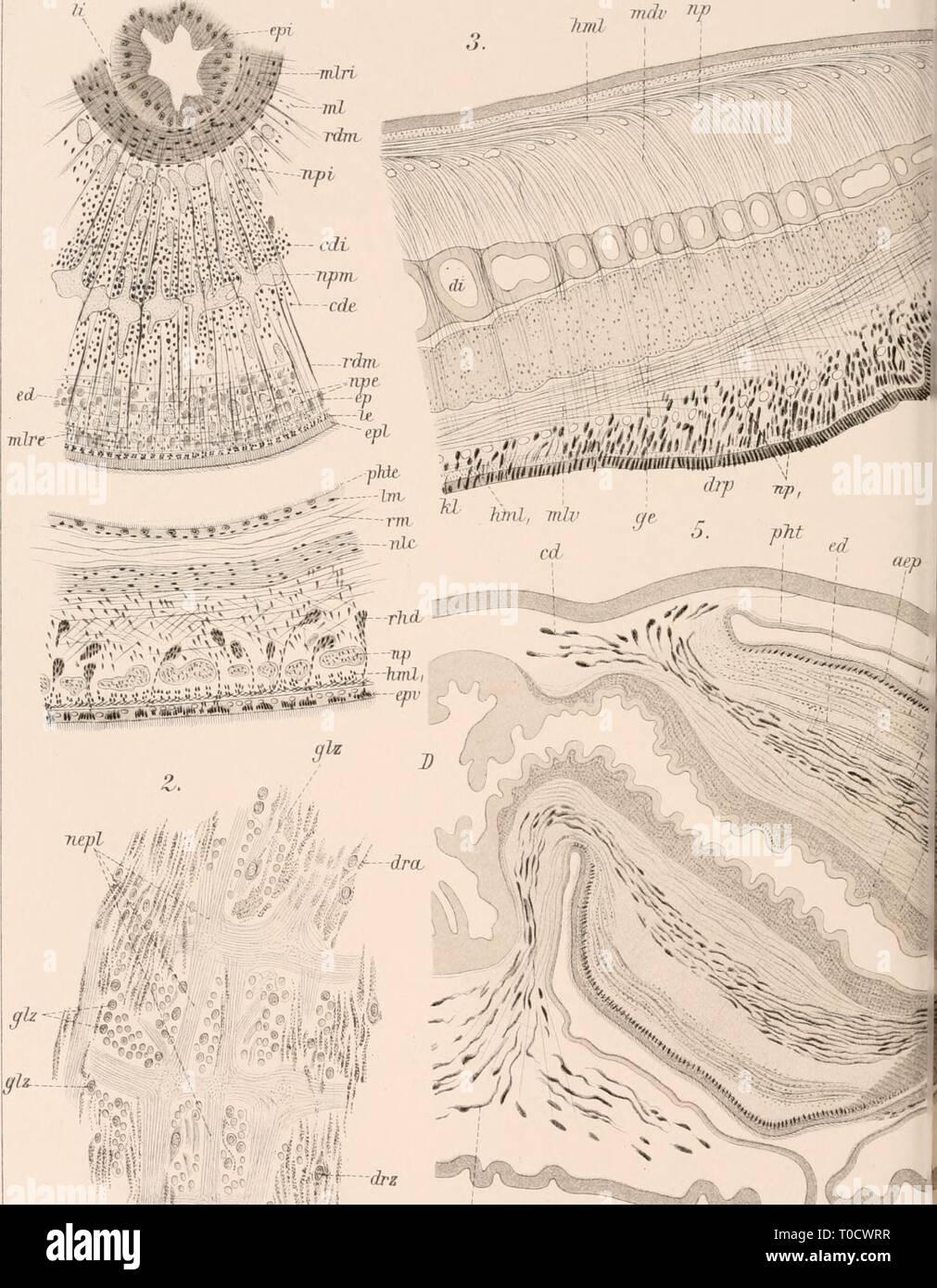 Dr HG Bronn's Klassen und Dr. H.G. Bronn's Klassen und Ordnungen des Thier-Reichs : wissenschaftlich dargestellt in Wort und Bild drhgbronnsklasse040102bron Year: 1912  Bronns Klassen IV , Turbellaria . 7. TTU^l' Ttf    dre /^â ^ li'-S?J cäy III C.F Winter'sehe r lithAns: I - Stock Image