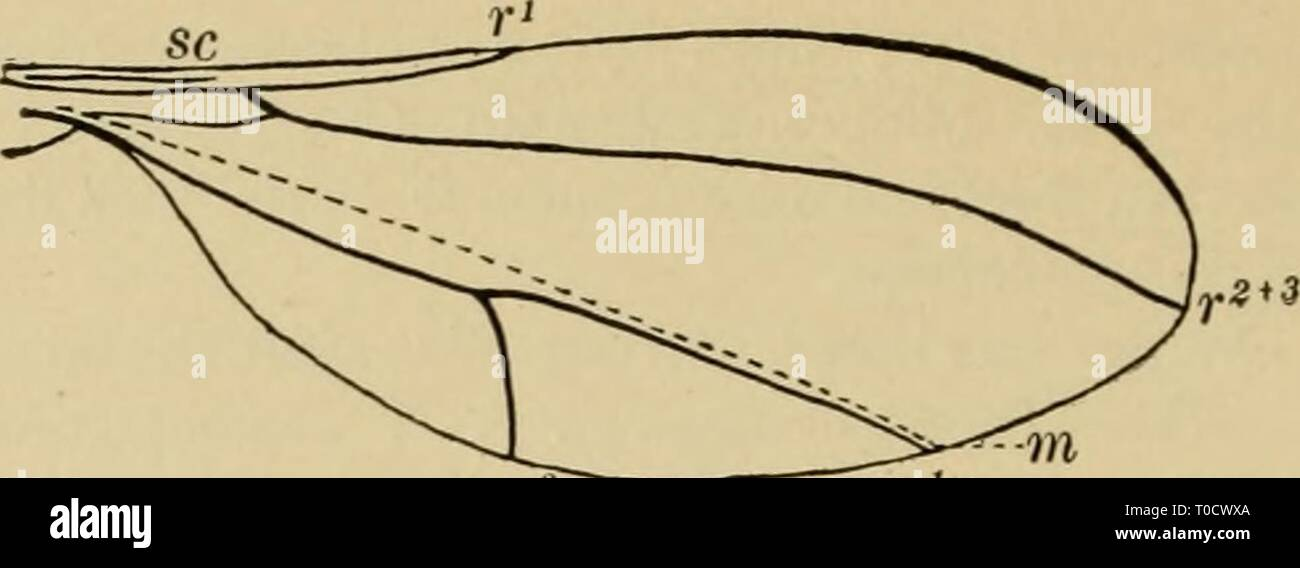 Elementary entomology (1912) Elementary entomology elementaryento00sand Year: 1912  Fig. 458. Venation of a cecidomyiid gall-gnat (After Comstock) - Stock Image
