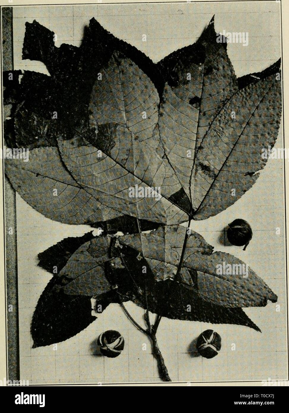 Economic botany of Alabama (1913-1928) Economic botany of Alabama economicbotanyof12harp Year: 1913-1928.  JUGLANDACEAE 95    Fig 25 Leaves and nuts of Hiraria oralis (?), from the same locality as the preceding figure, collected October 5, 1912, and photographed later in the same month, against a background ruled in inch squares. - Stock Image