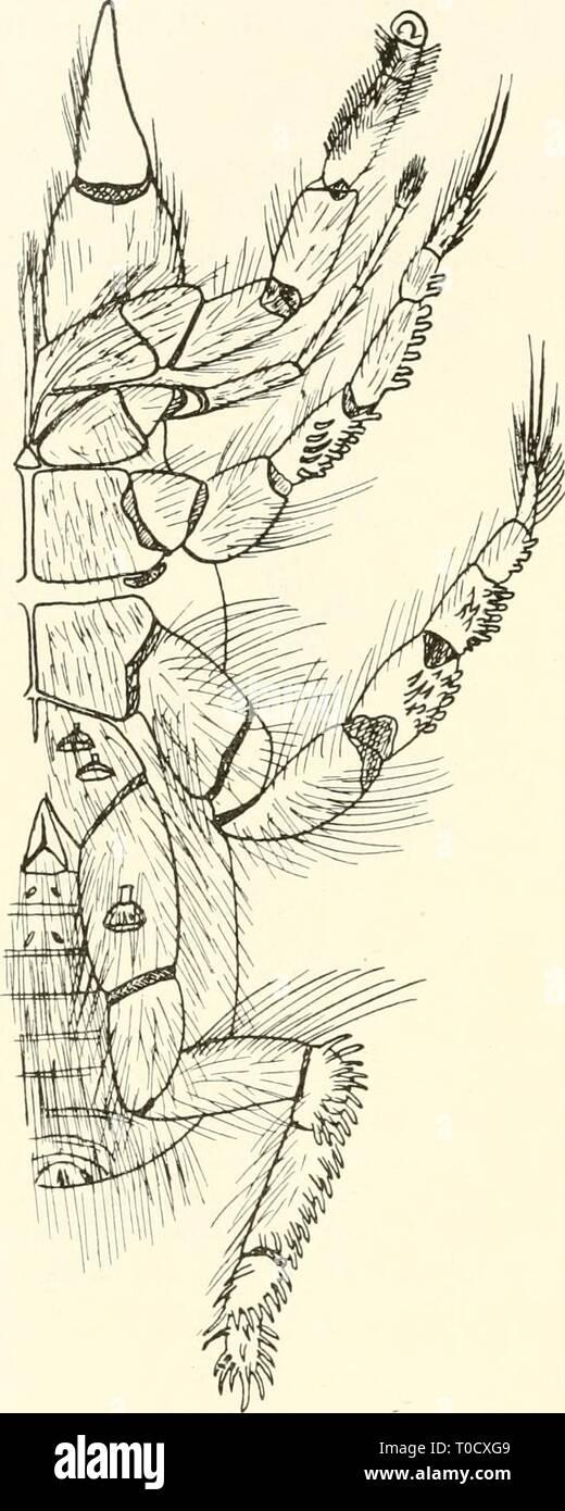 Dr H G Bronn's Klassen Dr. H. G. Bronn's Klassen und Ordnungen des Thier-Reichs : wissenschaftlich dargestellt in Wort und Bild drhgbronnsklasse544bron Year: [1892- ]  334 Solifuga oder Walzenspinnen. 1901 S. 151. Hexisopus infuscatus Kraepelin 1899 S. 255 u. nur $ — Walfischbai — (vidi 1 $, Typus). Hexisopus fodiens Simon 1887 S. 374; Kraepelin 1901 S. 152. Die Genitalöffnung ist noch nicht ausgebildet, daher ist das einzig bekannte $ als nicht erwachsen anzusehen. Es besteht die Mög- lichkeit, daß die erwachsenen Tiere auch nur 3:3 Malleoli be- sitzen (vgl. Mossamedessa), nur $ (pull.) — Kal - Stock Image