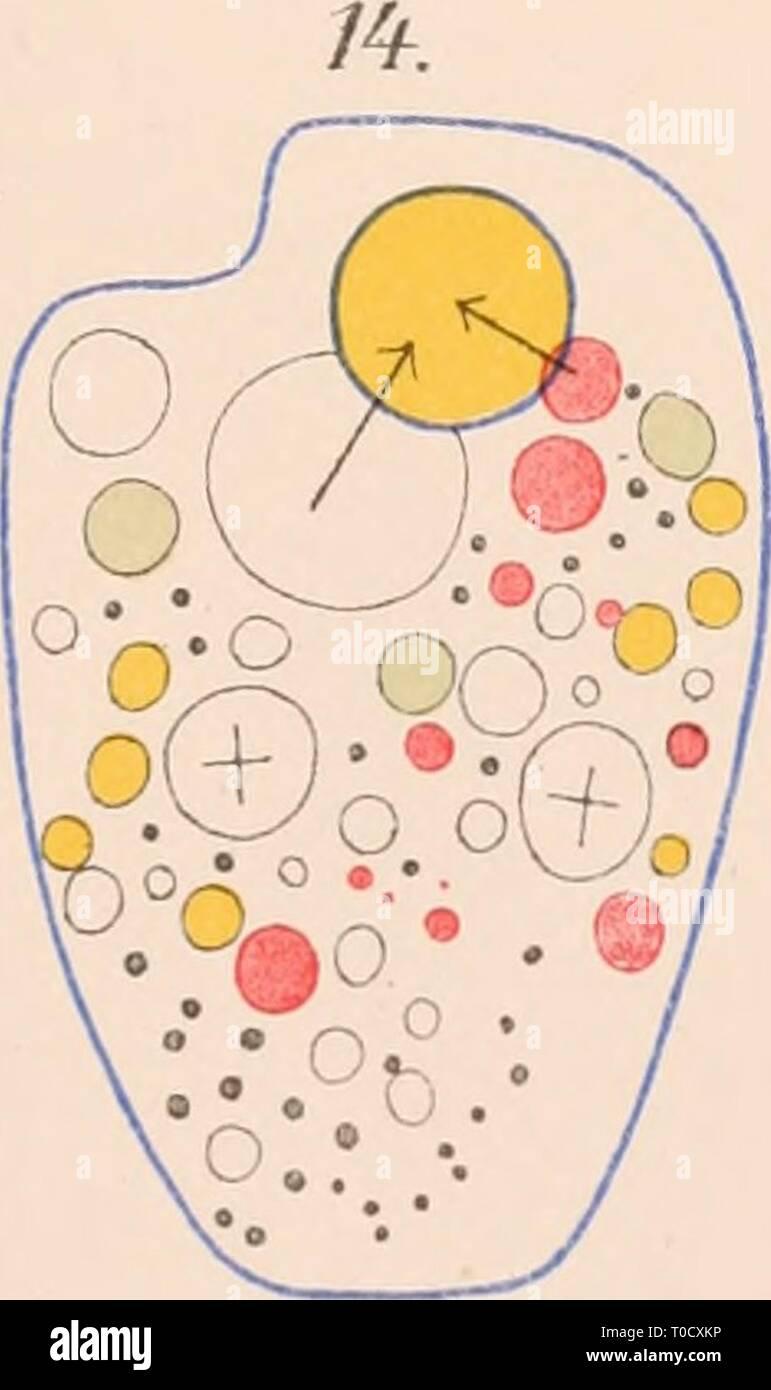 Dr HG Bronn's Klassen und Dr. H.G. Bronn's Klassen und Ordnungen des Thier-Reichs : wissenschaftlich dargestellt in Wort und Bild drhgbronnsklasse040102bron Year: 1912  O *o:'-b#4y o o^- '5 clüi    'oSSiiSc' o «.o:^^i)^i •o. .0. ^o ^ o o ° - Stock Image