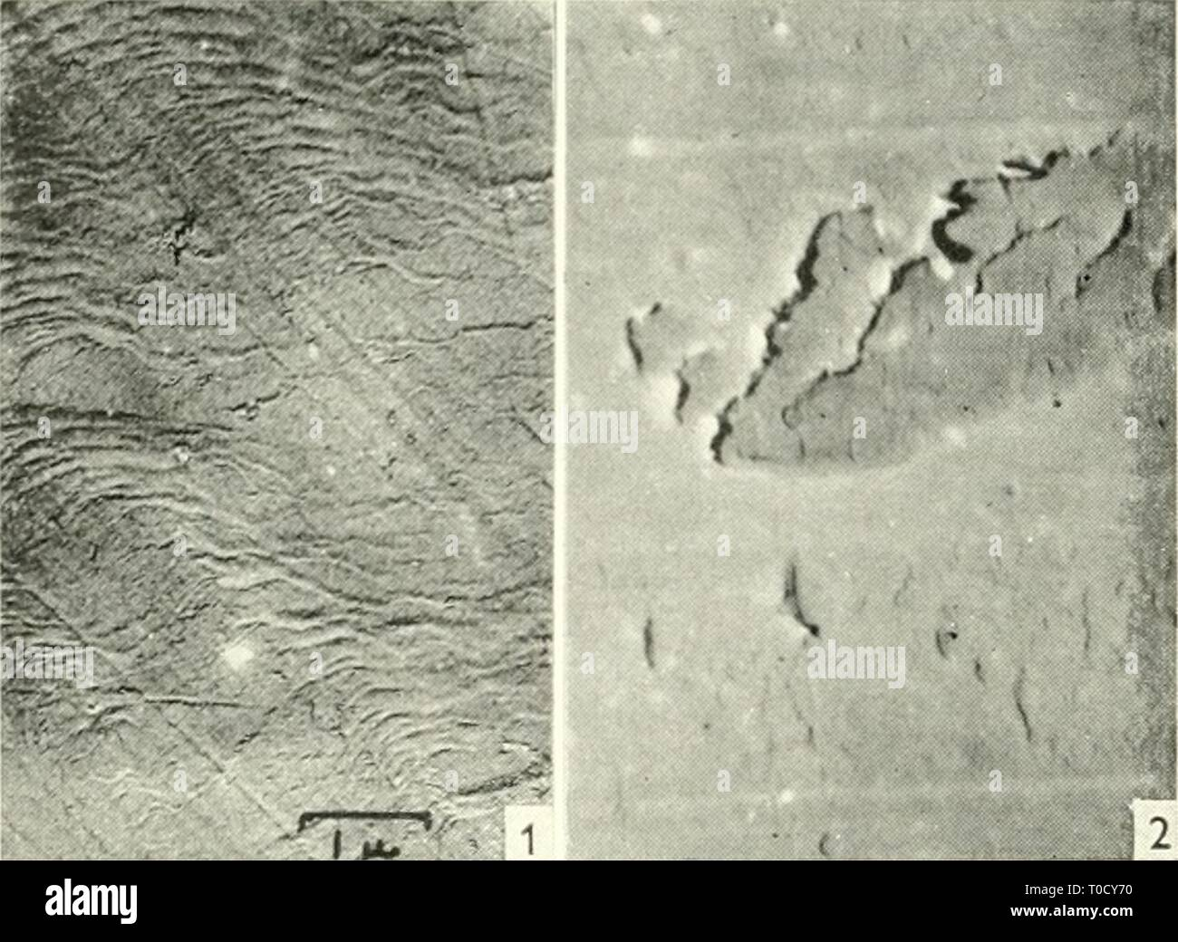 Electron microscopy; proceedings of the Electron microscopy; proceedings of the Stockholm Conference, September, 1956 electronmicrosco00euro Year: 1957  332 D. SCOTT AND H. M. SCOTT    Fig. I. Initiation of Wear Damage on Soft Steel. An area of running track near the start of a test run. Tiie material of the cylinder is E.N.8 steel of hardness aproximately 200 V.P.N. Plastic deformation of this fairly ductile material is evident, also small areas of surface damage produced by the displacement of material. Magnification 7500. Fig. 2. Initiation of Wear Damage on Hard Steel. Initial damage to th - Stock Image