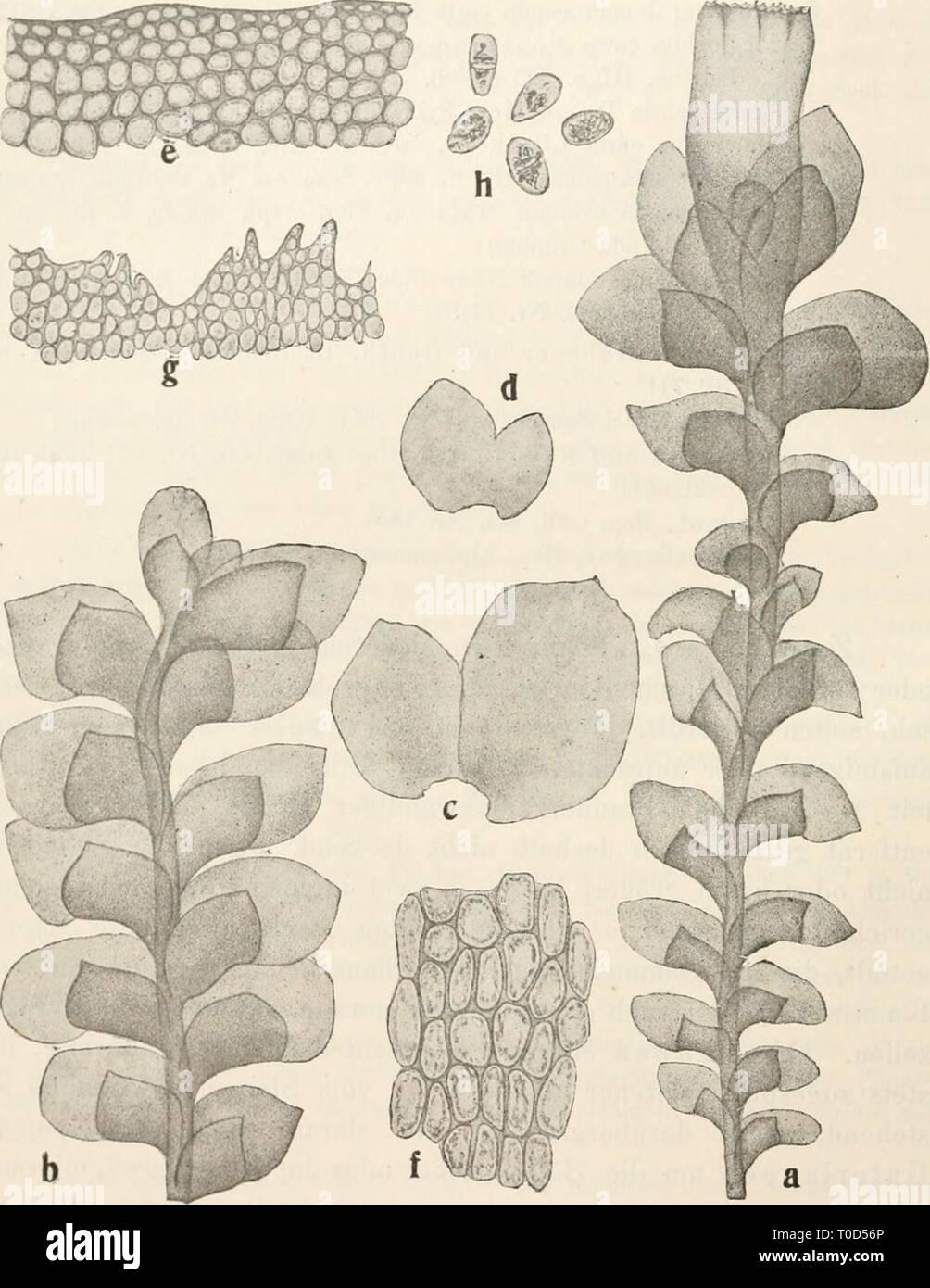 Dr L Rabenhorst's Kryptogamen-Flora von Stock Photo
