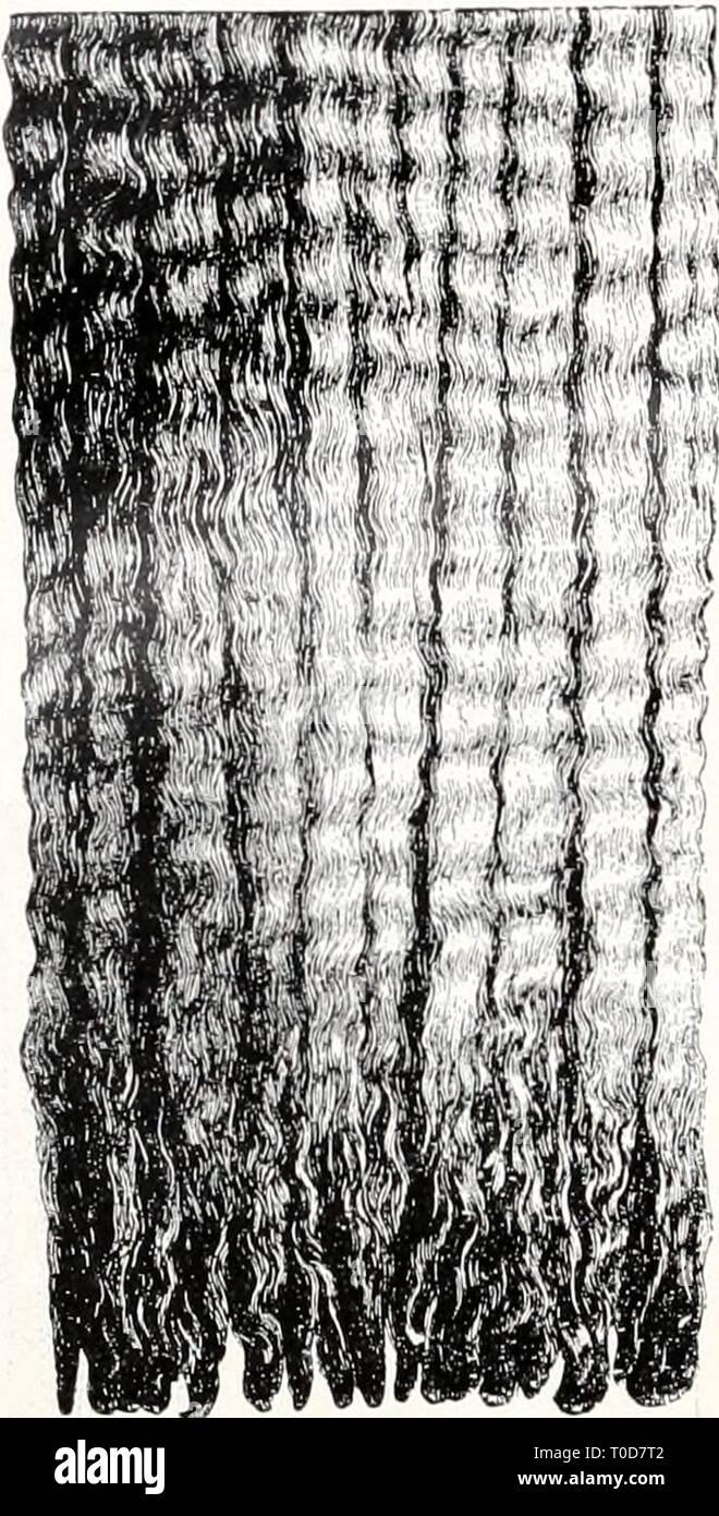 Einführung in die Vererbungswissenschaft; in Einführung in die Vererbungswissenschaft; in zweiundzwanzig Vorlesungen für Studierende, Aerzte, Züchter einfhrungindie1913gold Year: 1913  412    im ganzen, Fig. 165 im Skelett, verglichen mit dem normalen FuÃ, zeigt, so daà eins der grundlegenden systematischen Merkmale der ganzen Ordnung, die Paarhuf ig keit, wenn auch nicht aufgehoben (dazu müÃte eine Zehe aasfallen), so doch verschleiert ist. Eine Zeitlang wurden solche Einhufer- sauen lebhaft gezüchtet, als vor Ein- führung der Eisenbahnen groÃe Herden weit weggetrieben wurden und sich d - Stock Image