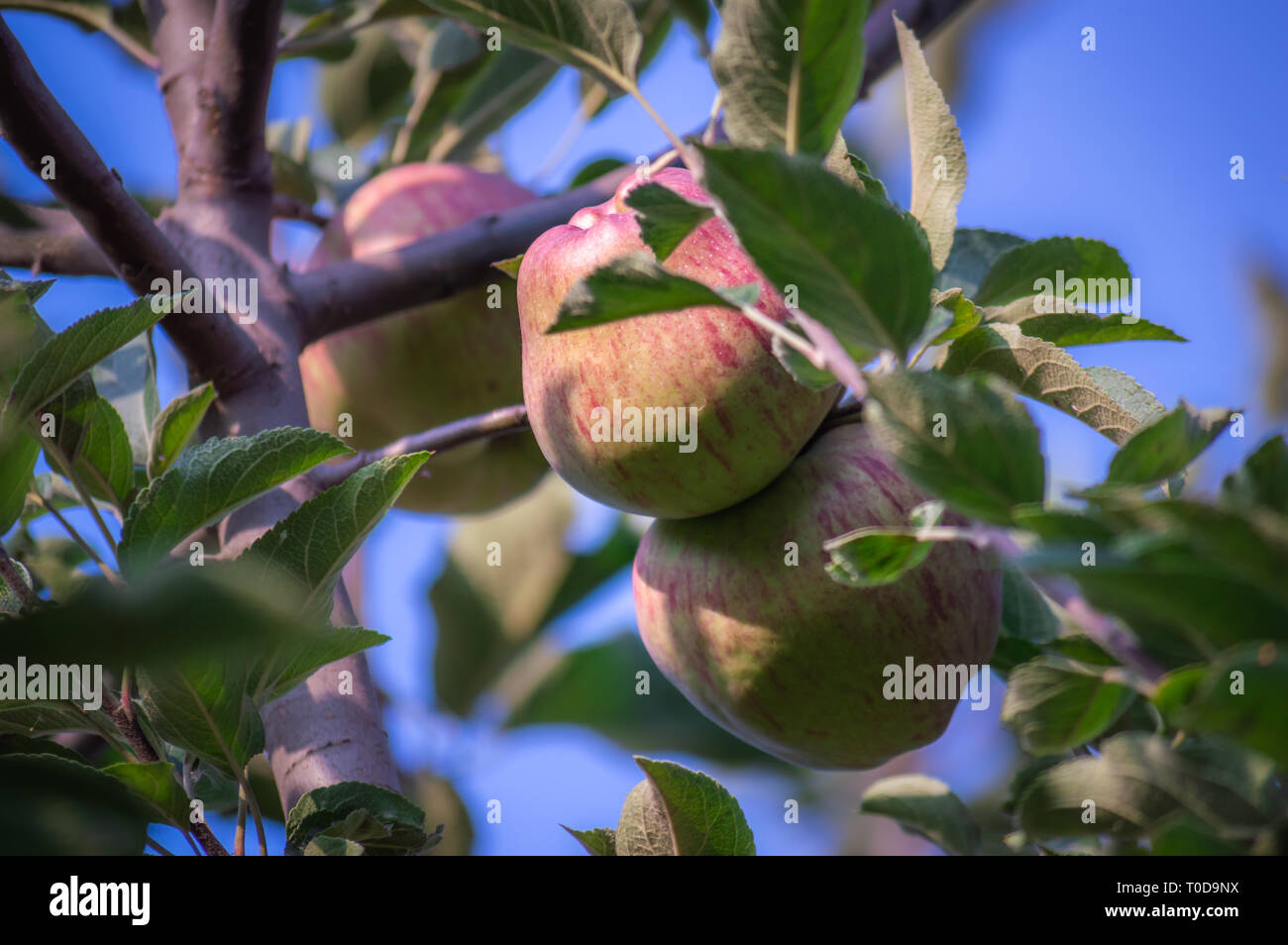 Apples hanging from branches ready to be harvested - Stock Image