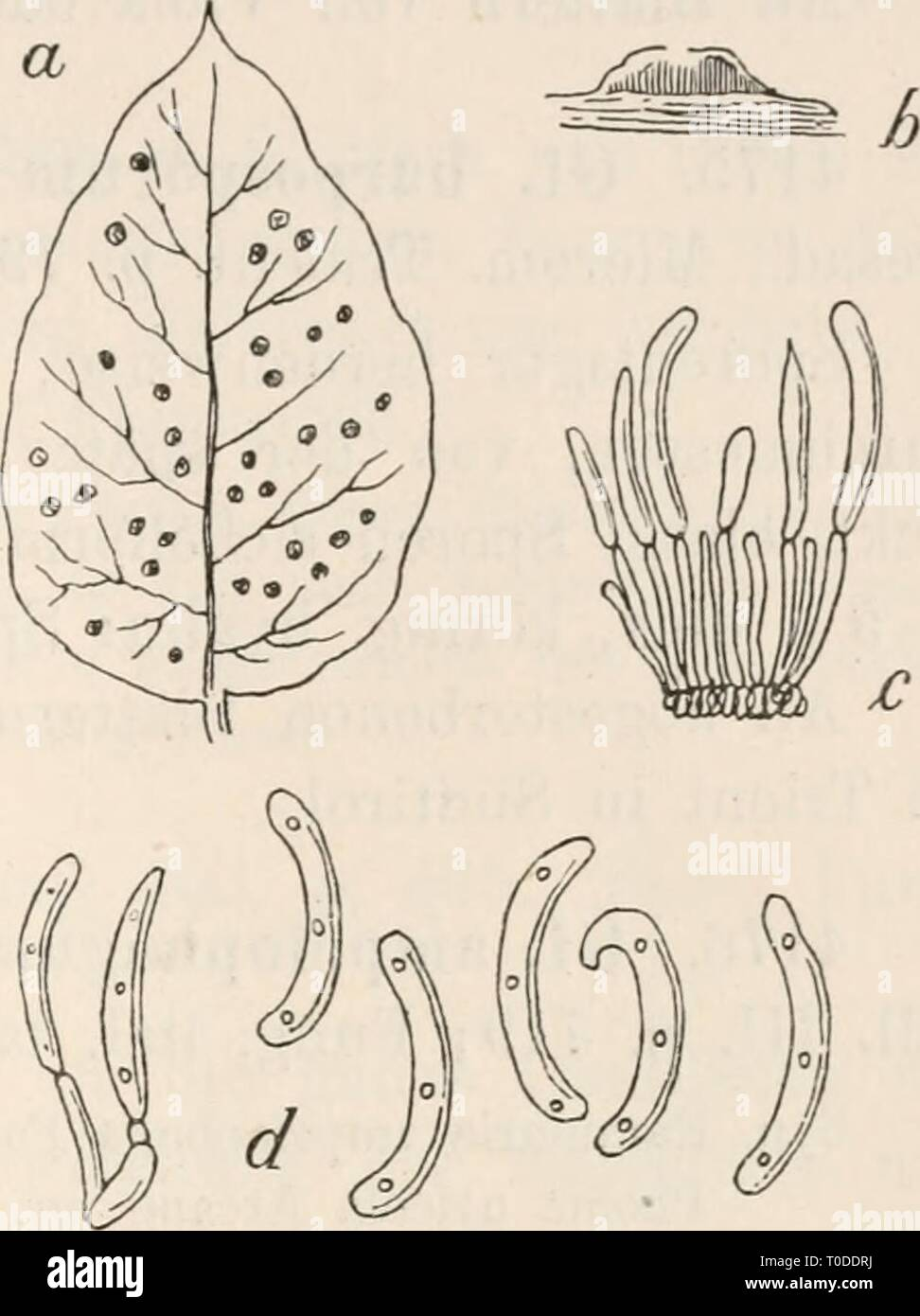 Dr L Rabenhorst's Kryptogamen-Flora von Dr. L. Rabenhorst's Kryptogamen-Flora von Deutschland, Oesterreich und der Schweiz drlrabenhorstskr0107rabe Year: 1903  Gloeosporium 507 Viburnum    Viburnum 4172. OL tineuin Sacc, Mich. I. p. 219; Fungi ital. tab. 1055; Syll. III. p. 707. Flecken nach Yertrocknung blass, verschieden geformt; Sporen- lager auf der Blattunterseite, fast ocherfarben, von der Epidermis G1 o e o s p o r i u m t i n e u m Sacc. a. Ein Blatt von Viburnum Tinus mit dem Pilze in natürlicher Grösse. b. Ein schwach vergrössertes, senk- recht durchschnittenes Sporenlager. c. Ein se - Stock Image