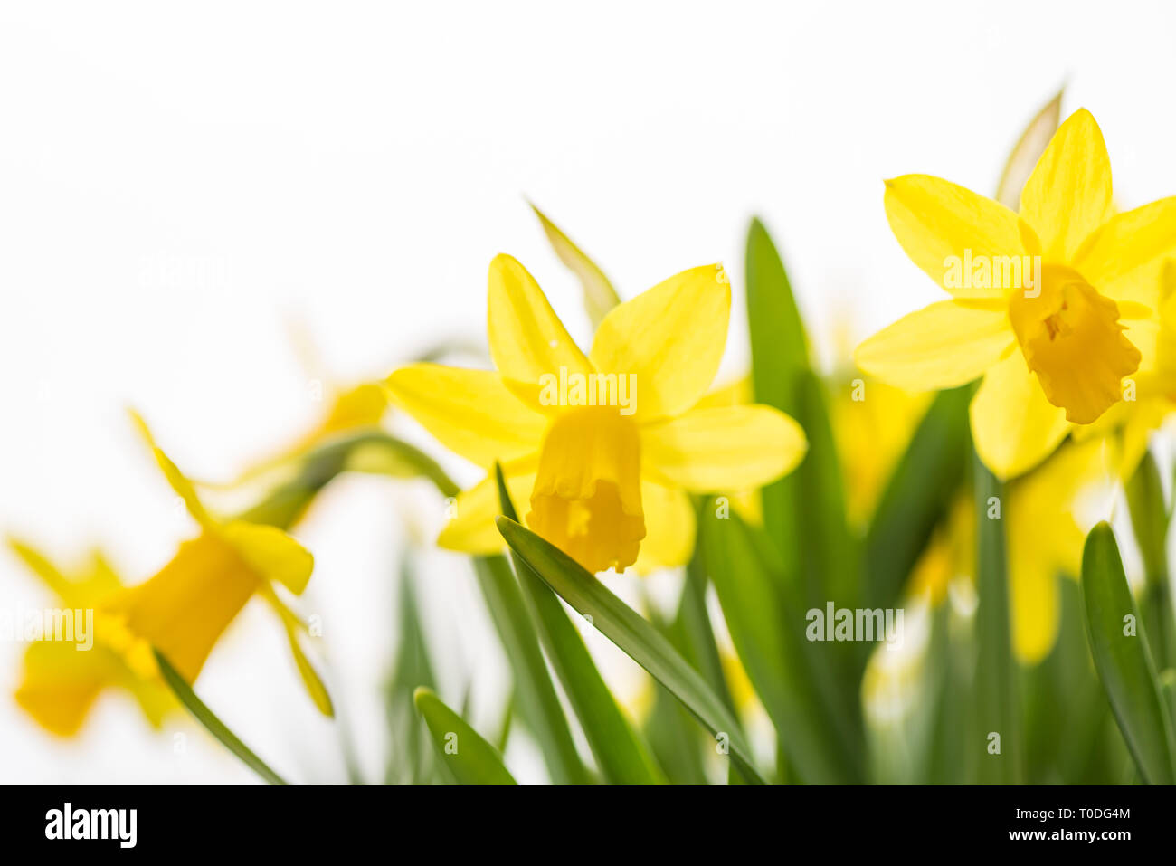 Daffodils flower in spring in front of white background Stock Photo