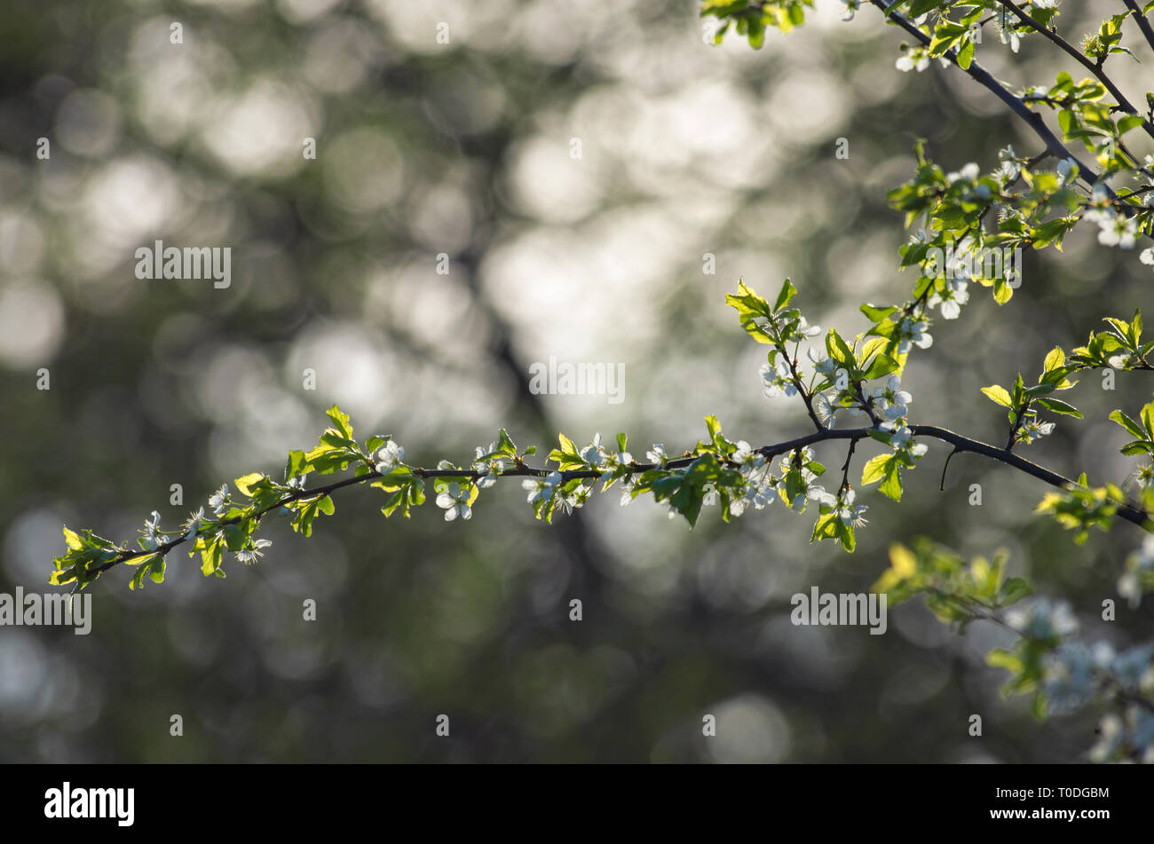 Blooming branch apple tree with white flowers and beautiful bokeh in the background in springtime Stock Photo