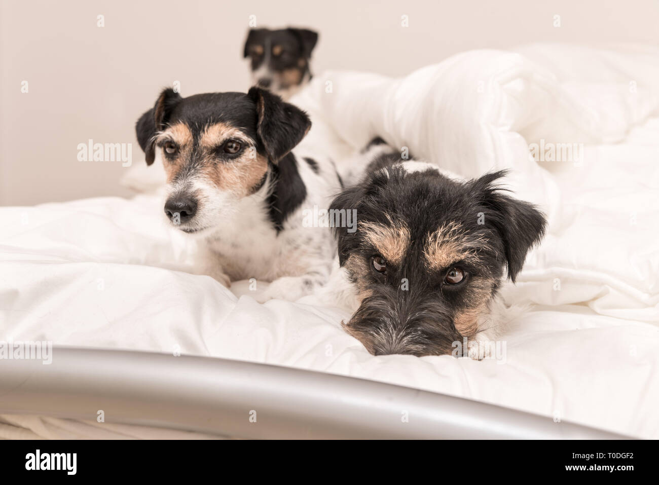 A group of funny dogs are lying and sleeping in a bed. Three small Jack Russell Terrier dog. - Stock Image