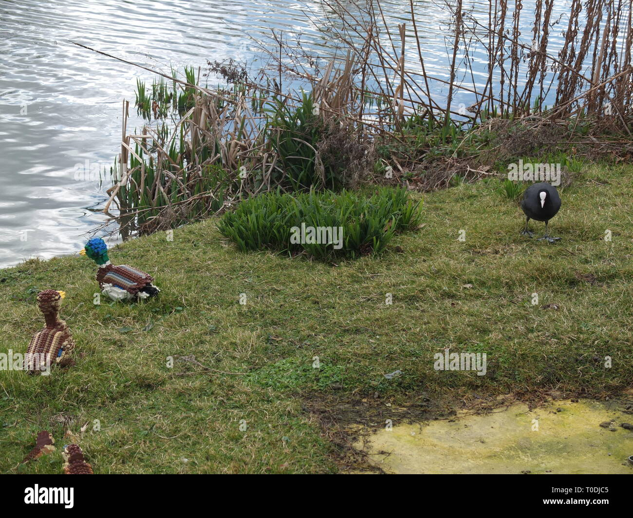 A coot (Fulica atra) with some lego model mallard ducks and ducklings by the side of a lake at LEGOLAND Windsor Resort UK Stock Photo