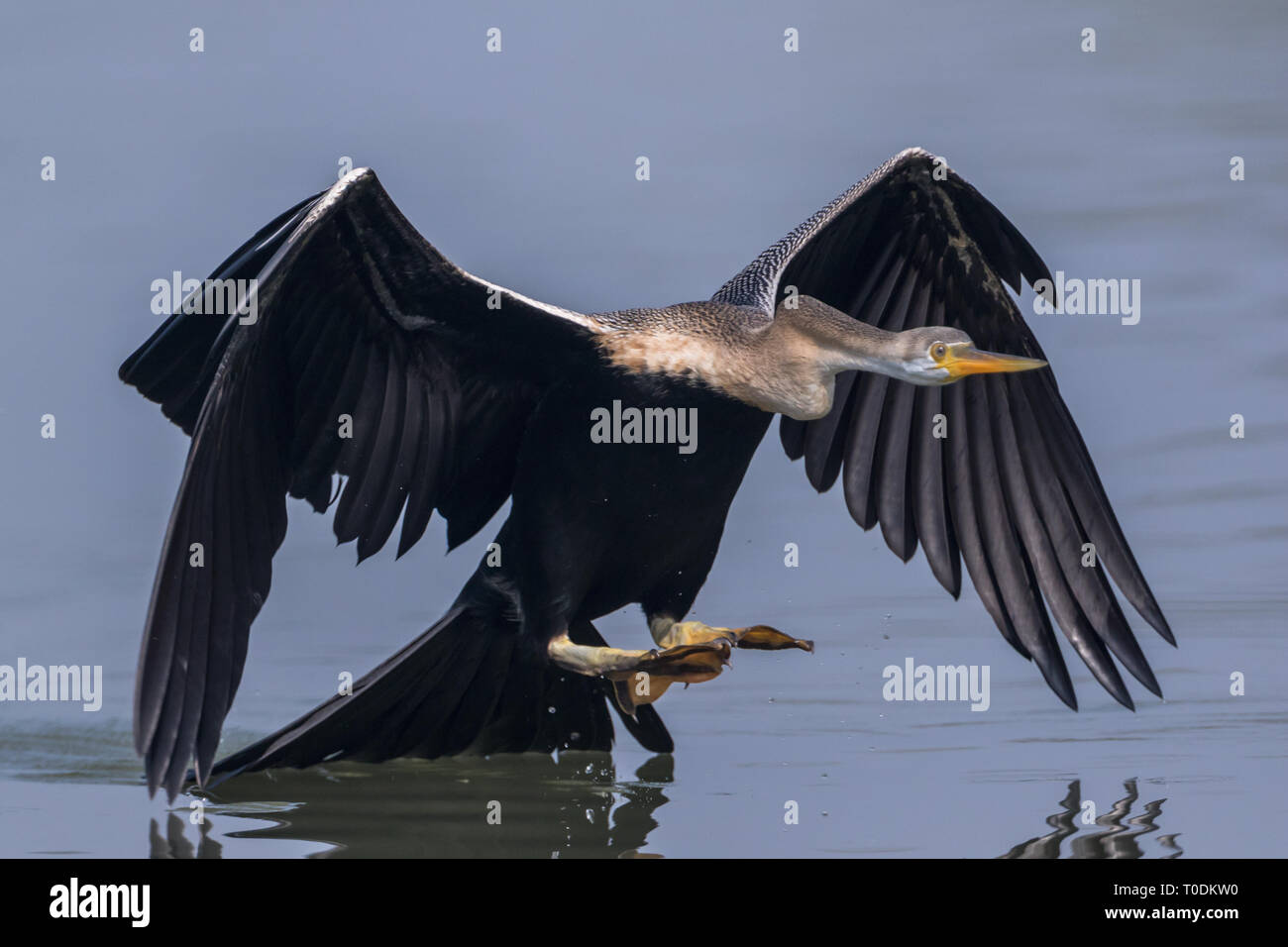 The Oriental darter or Indian darter (Anhinga melanogaster) catching and eating the fish in the lake at Bharatpur Bird Sanctuary, Rajasthan, India - Stock Image
