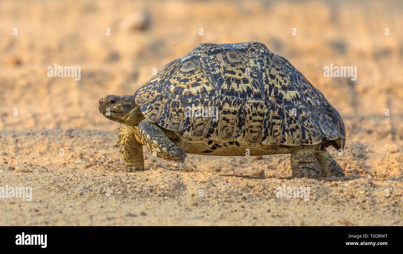 African Leopard Tortoise Stock Photos African Leopard