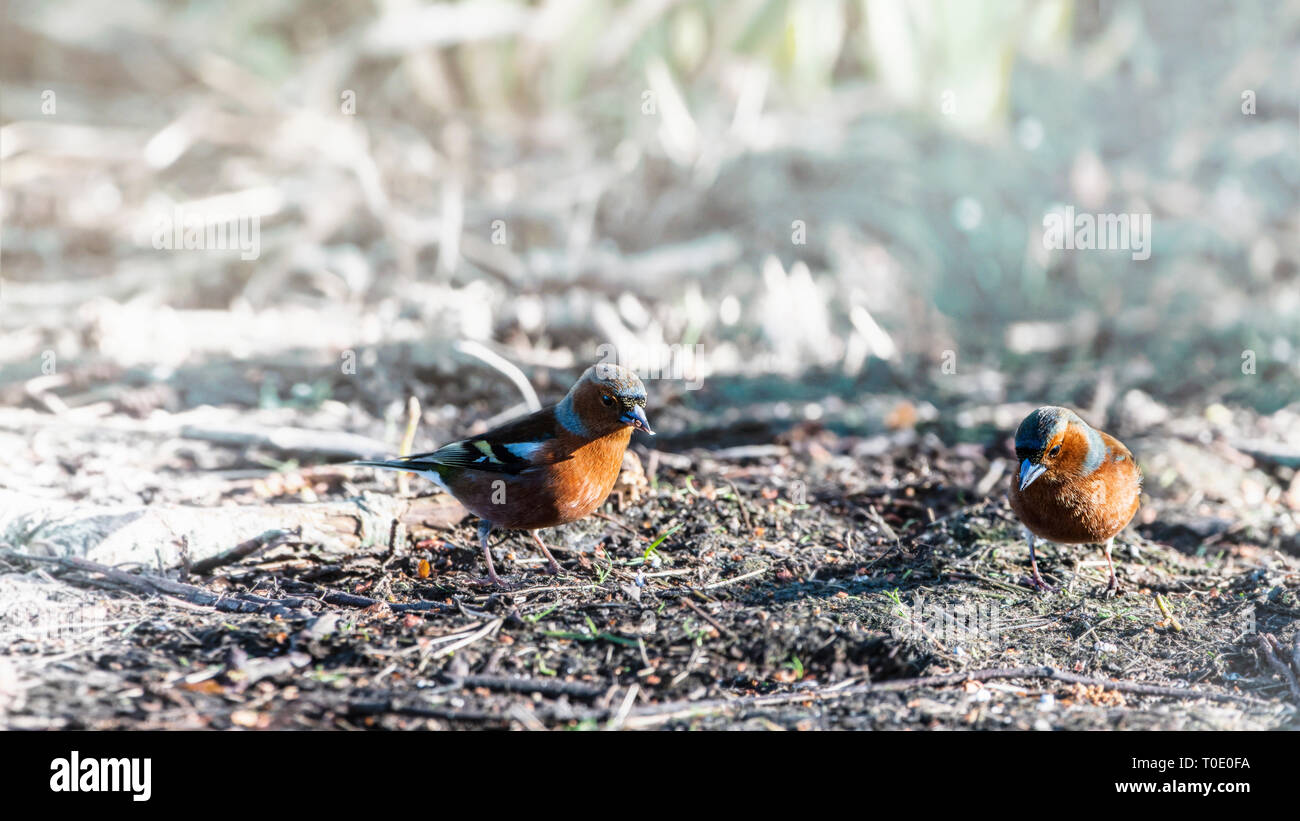 Enjoying Life Pair of Chaffinches sitting on a ground. - Stock Image