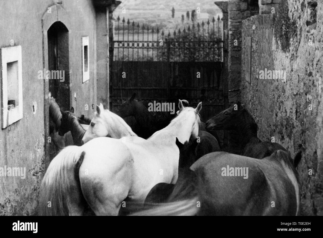 horse breeding, caltagirone, sicily, italy 1920 1930 - Stock Image