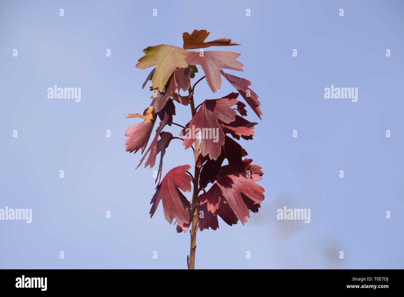 Reddened leaves of golden currant. Autumn leaf color. Currants in the garden in autumn Stock Photo