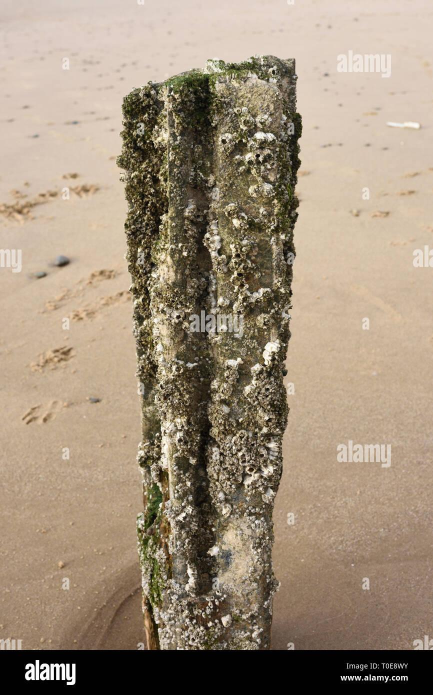 Crustaceans on derelict metal groyne pile on sandy beach on the fylde coast in lancashire uk - Stock Image