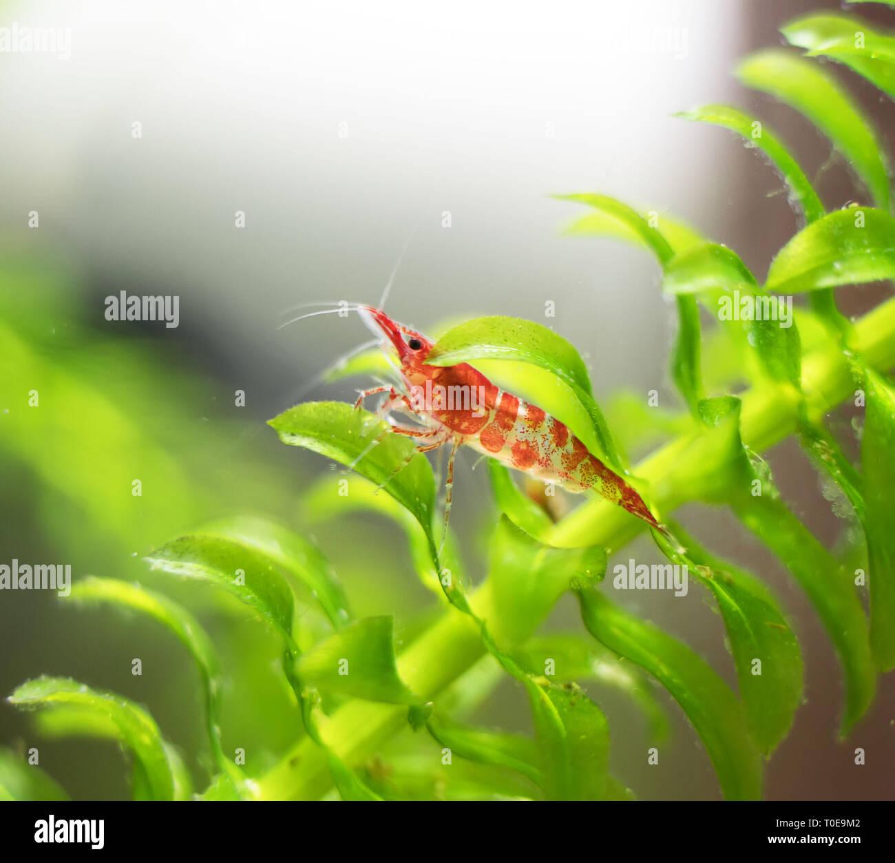 Freshwater shrimp in freshwater aquarium  Neocaridina davidi
