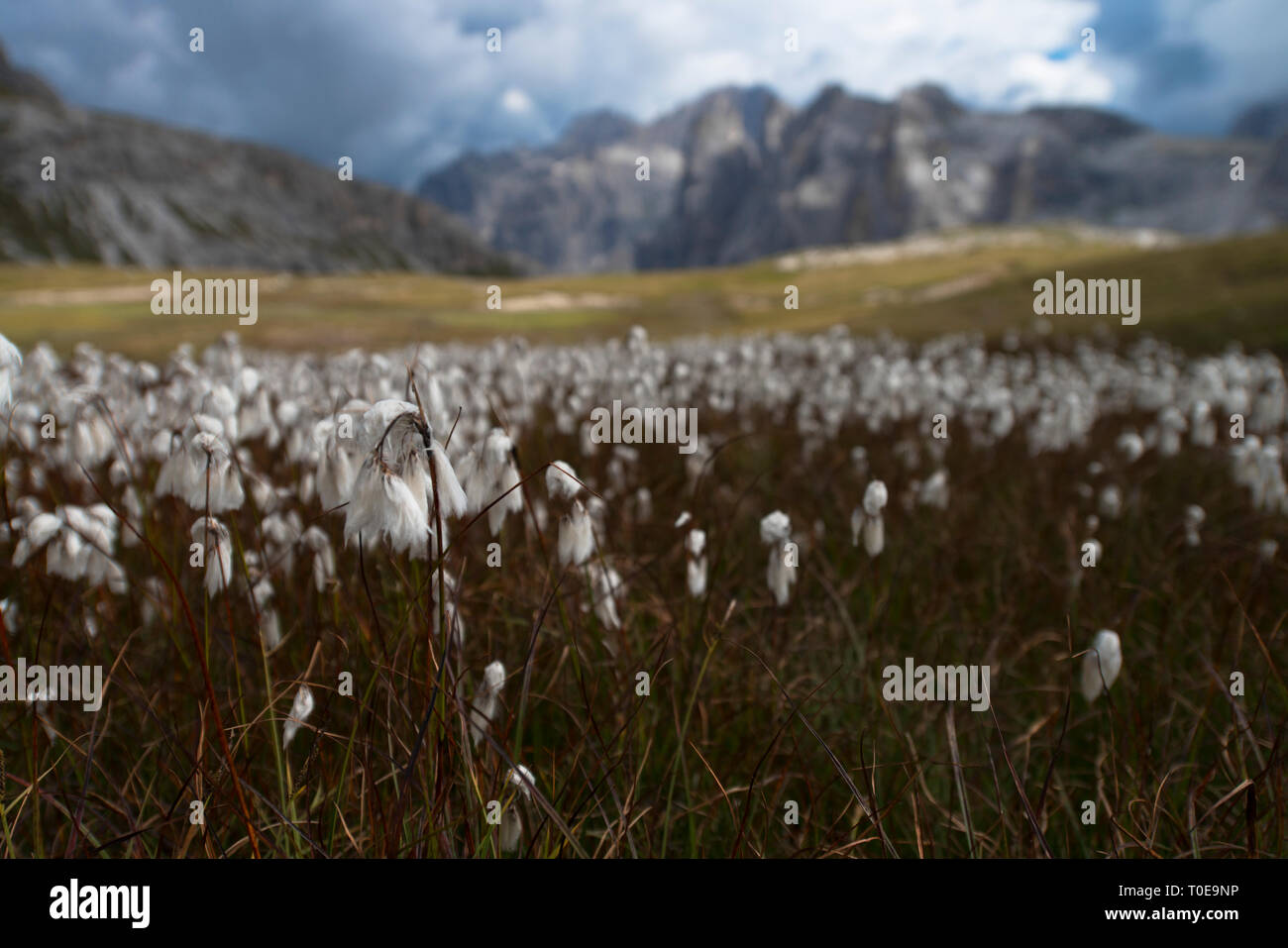 Beautiful white flowers in mountain landscape in the foreground, Dolomites. Eryophorum latifolium also called cottongrass, cotton-grass or cottonsedge - Stock Image