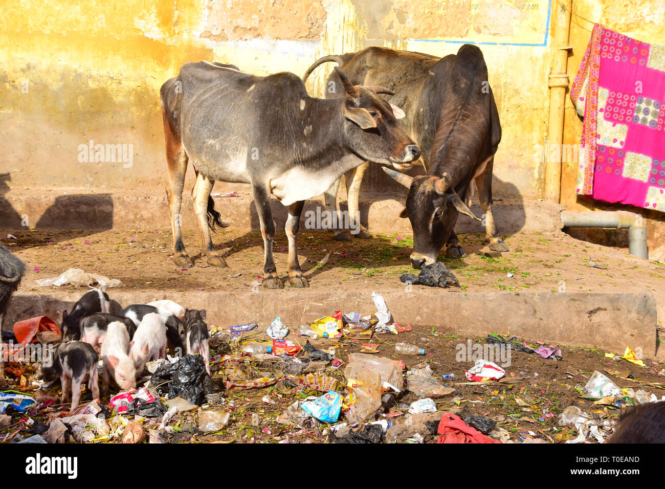 Cows, Piglets, Litter, Filth, Bundi, Rajasthan, India - Stock Image