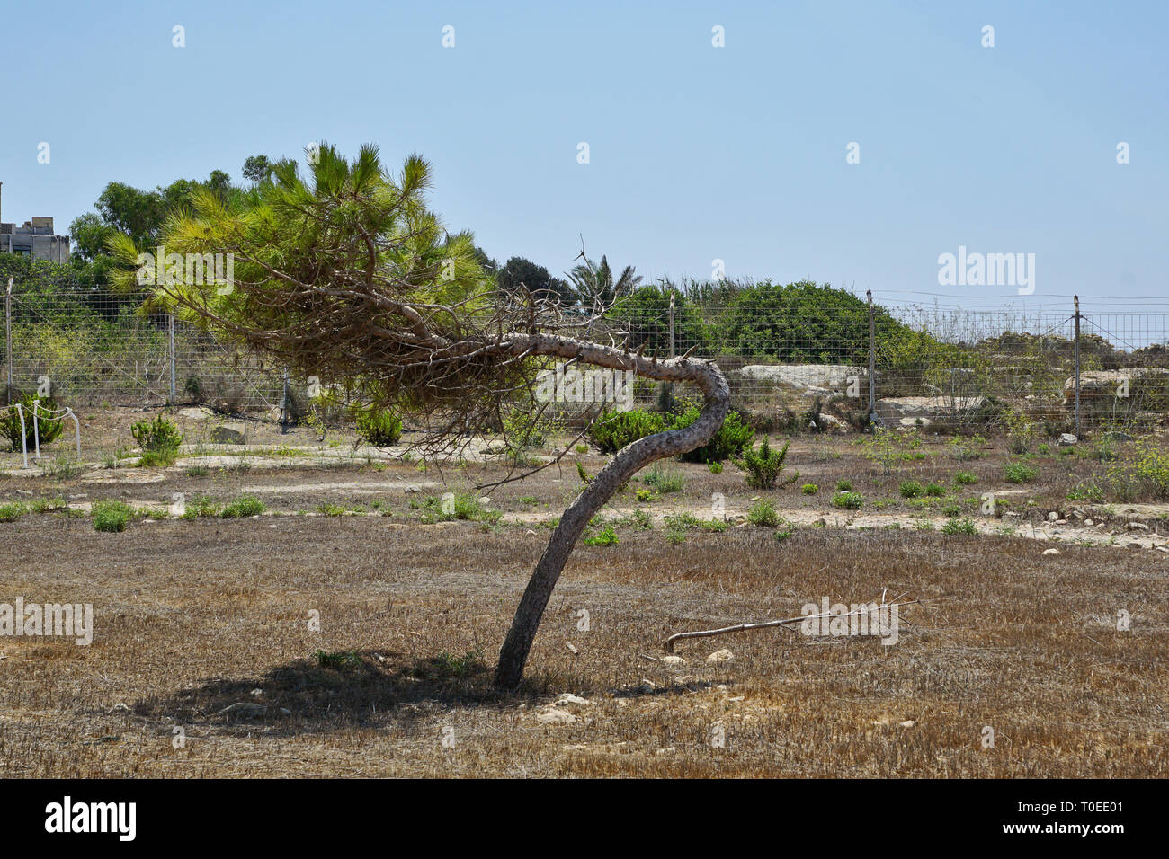 extremely wind-deformed tree - Stock Image