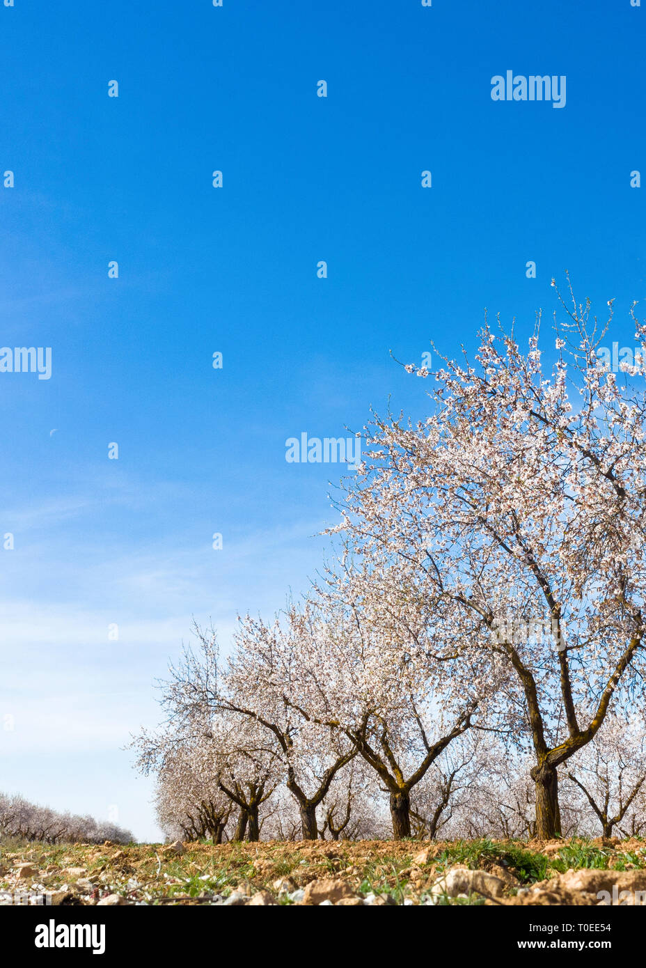 vertical image of a leading line of pretty almond trees in blossom shot for copy space with a blue sky background taken from ground level - Stock Image