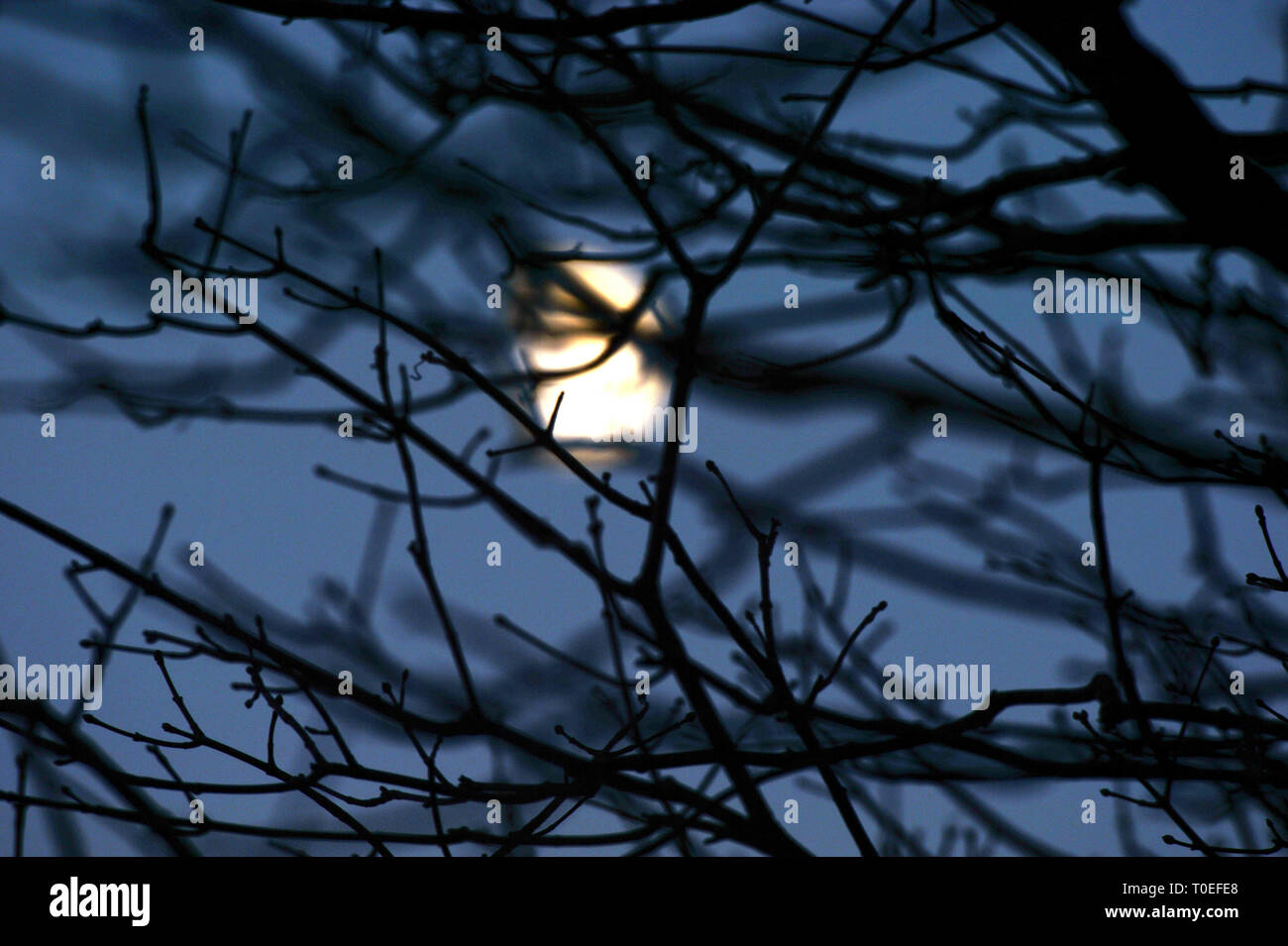 Moonshine  through trees silhouettes A myriad of branches and twigs screens the fading moonlight and blue night sky. - Stock Image