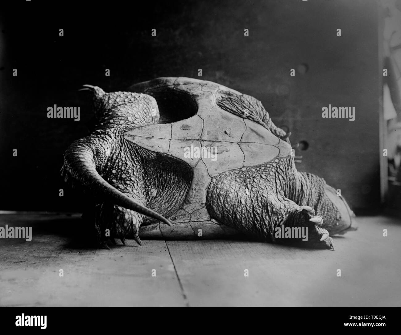 A large snapping turtle lays on its shell on the floor, ca