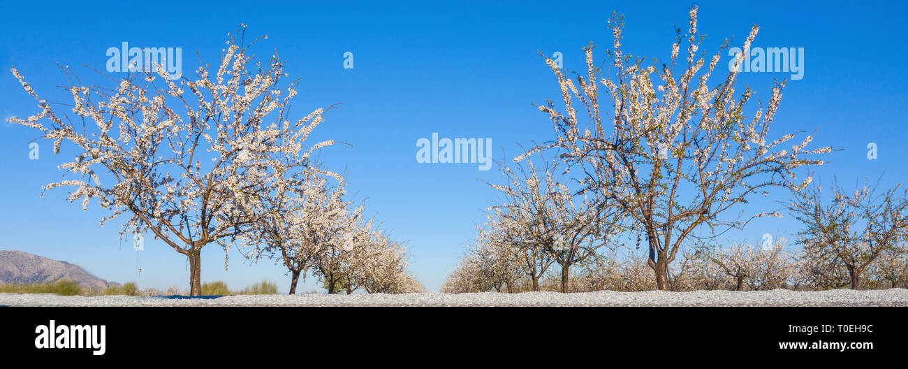 pretty almond header with a leading line of  blossoming trees  shot for copy space with a clear blue sky background - Stock Image