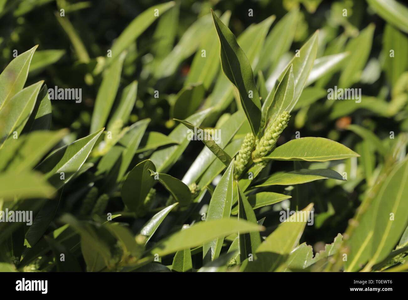 Prunus laurocerasus a winter green branch - Stock Image