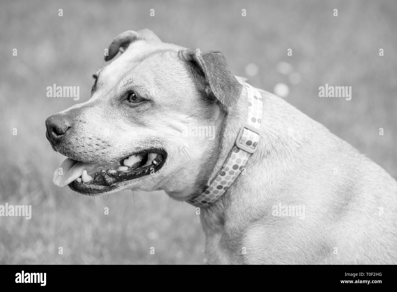 A side profile of a staffie looking thoughtful in the garden - Stock Image