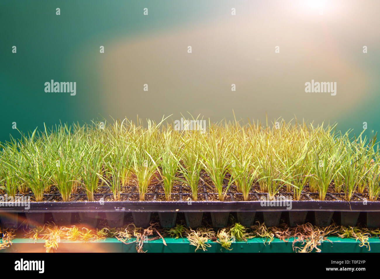 Cassettes for seedlings of aromatic herbs, vegetables and flowers in the greenhouse under additional lighting. - Stock Image