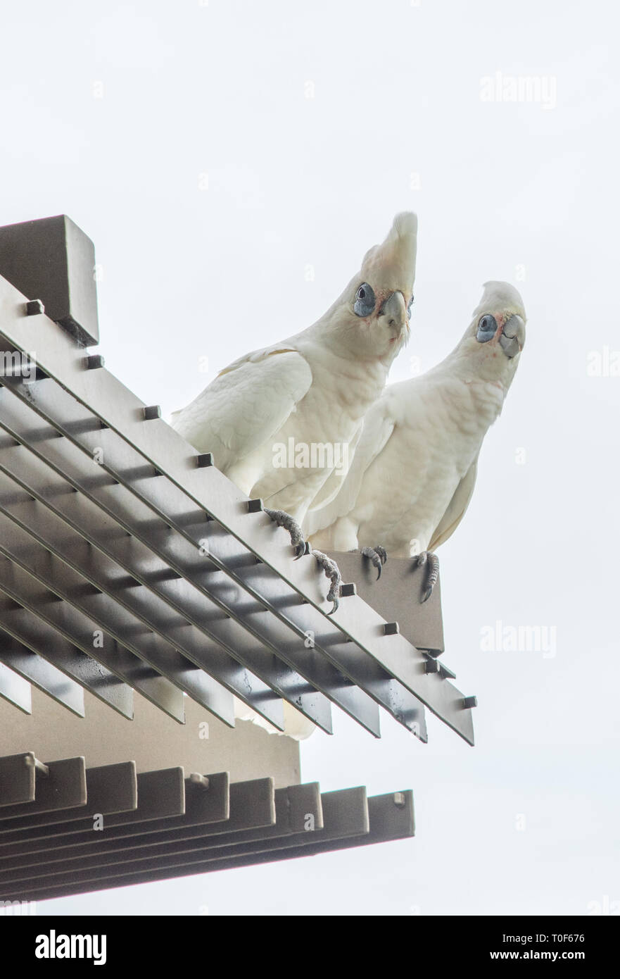 Two curious blue-eyed little corella parrots perched on building exterior with sky background in Darwin, Australia Stock Photo