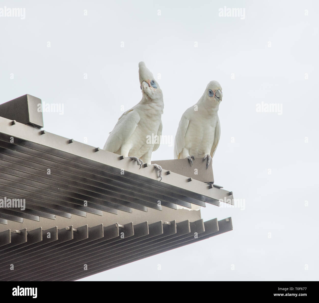 Two curious blue-eyed little corella parrots perched on building exterior with sky background in Darwin, Australia - Stock Image