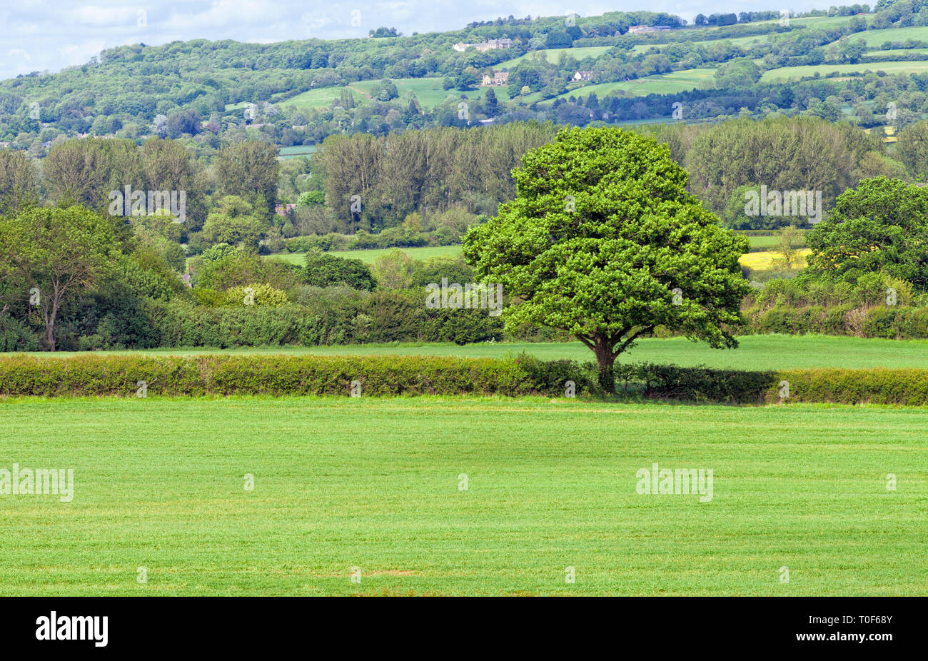 Leafy tree in the middle of green farm field, surrounded by hedgerow, woodlands with country houses on a hill, Cotswolds countryside on a summer day . - Stock Image