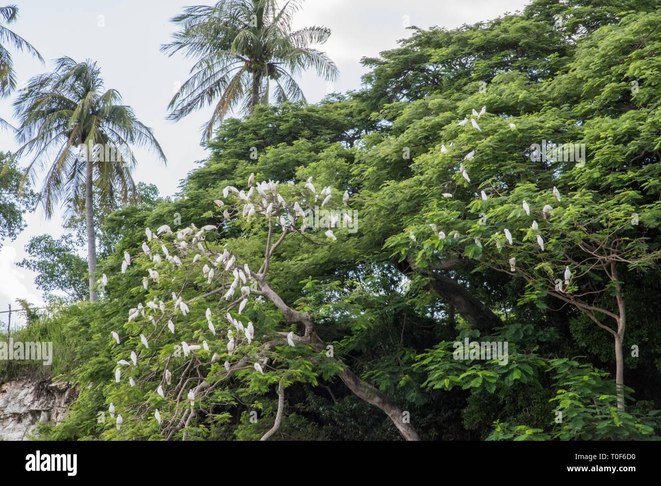 Little corella parrots perched in lush tree in tropical Darwin, Australia - Stock Image