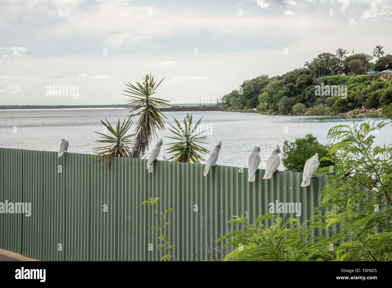 Little corella parrots perched on Timor Sea waterfront fence in tropical Darwin, Australia - Stock Image