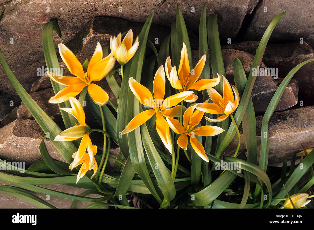 2872a6fbe3a Tulipa Tarda Tulipa dasystenon growing in rockery border Star shaped  flowers in early to mid spring