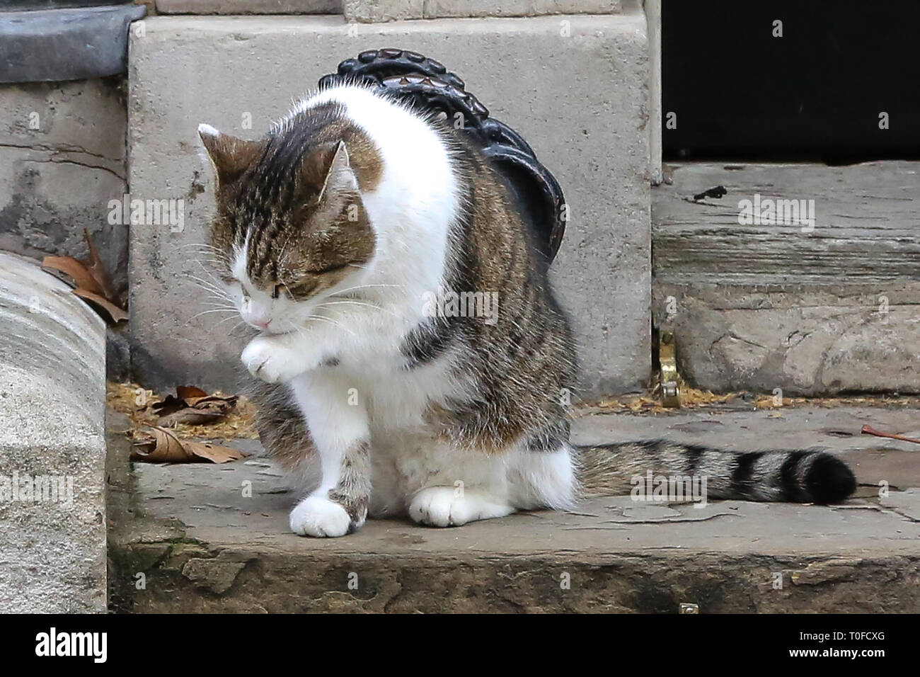 March 19, 2019 - London, UK, United Kingdom - Larry, the 10 Downing Street cat and Chief Mouser to the Cabinet Office is seen in Downing Street. (Credit Image: © Dinendra Haria/SOPA Images via ZUMA Wire) Stock Photo