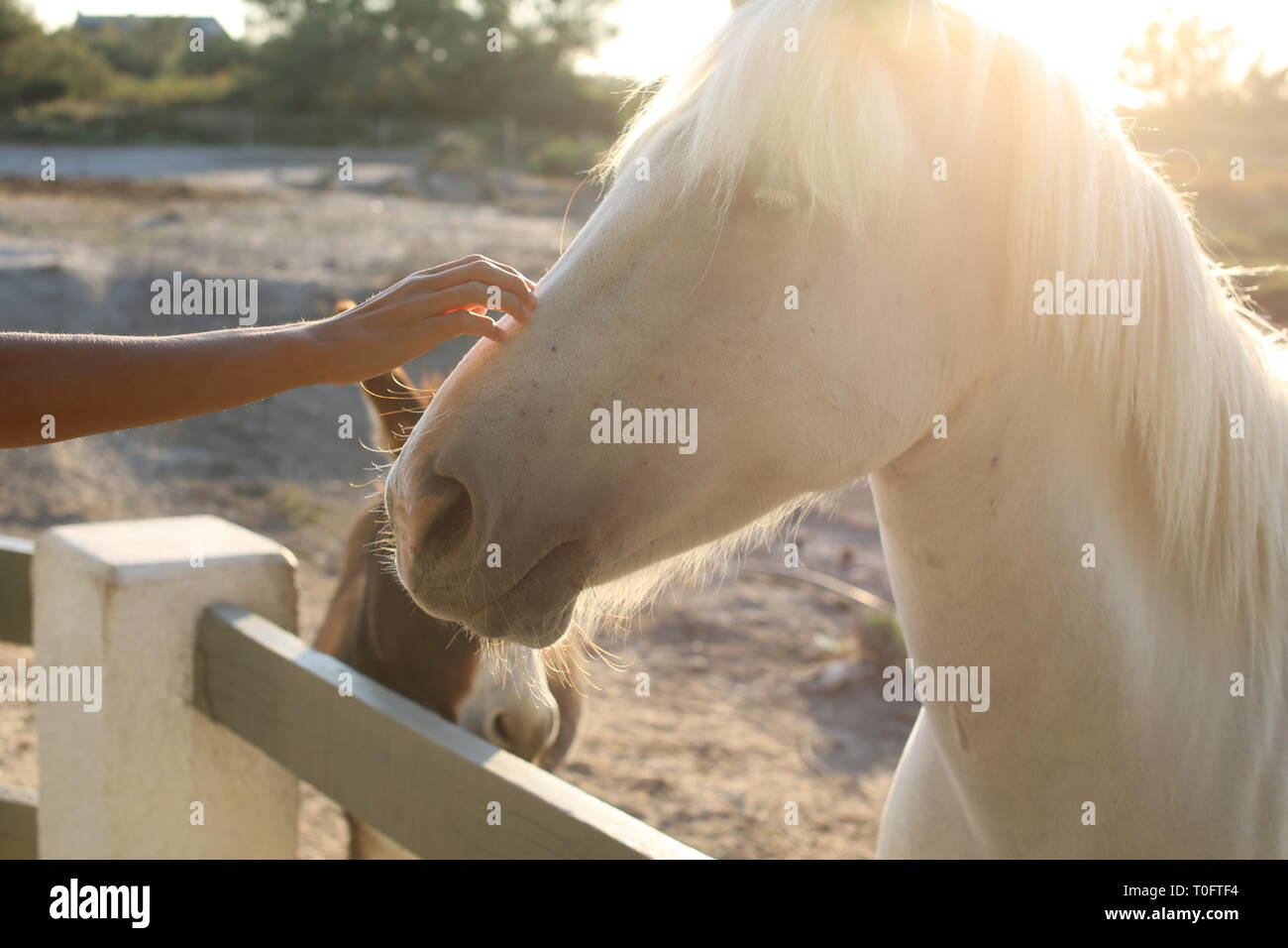 Close up of hand stroking a beautiful white horse's nose with a donkey in background at sunset Stock Photo